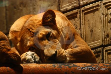 Brown lion orange cat animal.