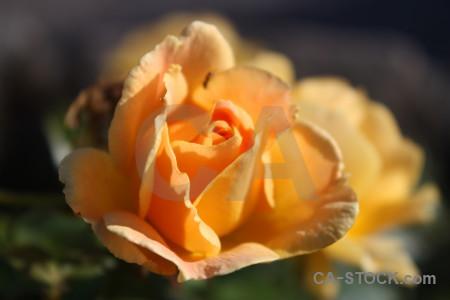 Brown orange yellow flower plant.