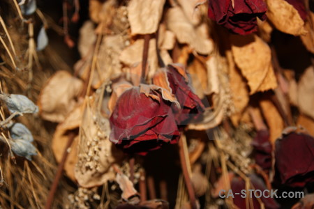 Brown rose dried plant flower.