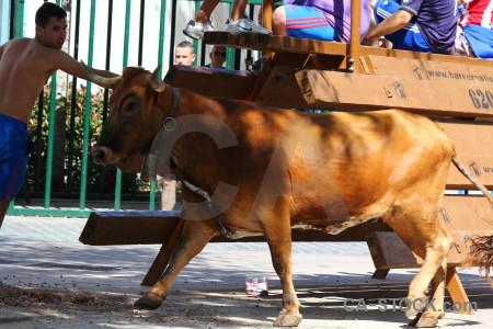 Bull horn person animal javea.