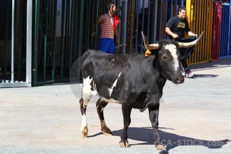 Bull running animal white javea spain.