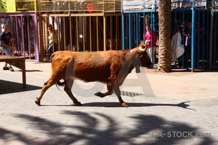 Bull running javea europe person spain.