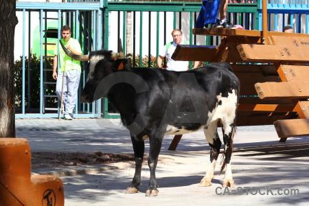 Bull running spain bull europe animal.