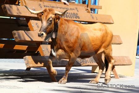 Bull running white animal horn spain.