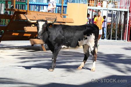 Bull spain javea white bull running.