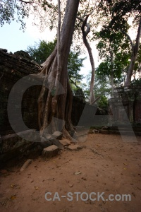 Cambodia tomb raider person root tree.