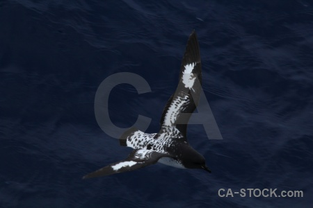 Cape petrel animal day 4 pintado drake passage.