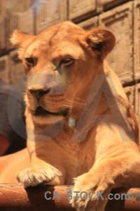 Cat lion orange animal brown.