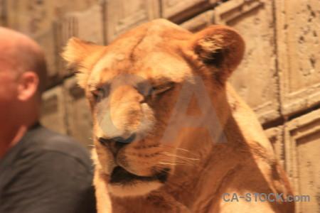 Cat orange brown animal lion.