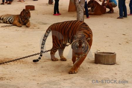 Cat wat pa luangta maha bua yannasampanno animal chain thailand.