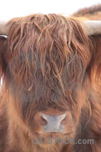 Cattle animal.