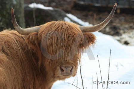 Cattle animal brown white.