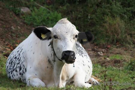 Cattle green animal.