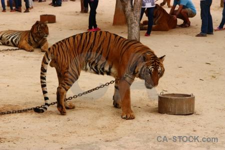Chain southeast asia cat wat pha luang ta bua thailand.