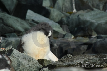 Chick antarctic peninsula animal penguin wilhelm archipelago.