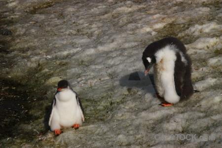 Chick antarctic peninsula petermann island day 8 animal.