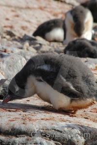 Chick antarctic peninsula south pole antarctica petermann island.