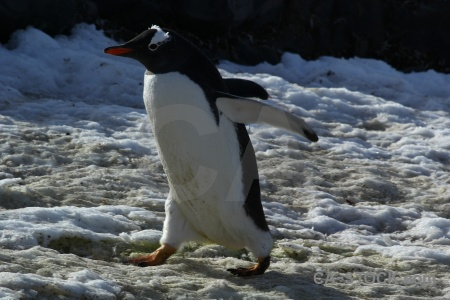 Chick antarctica cruise gentoo penguin ice.