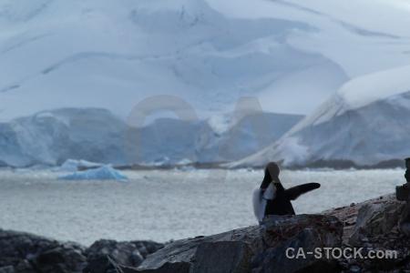 Chick antarctica cruise gentoo snow rock.