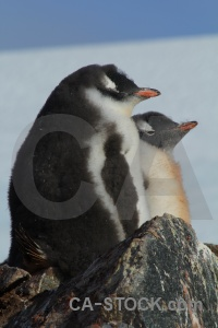 Chick antarctica gentoo day 8 animal.