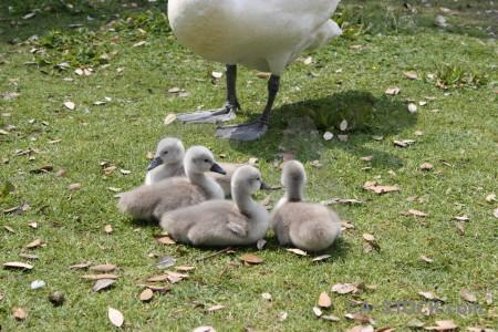 Chick aquatic swan animal bird.