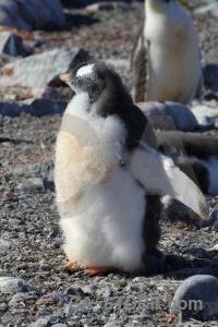Chick day 8 antarctica cruise stone rock.