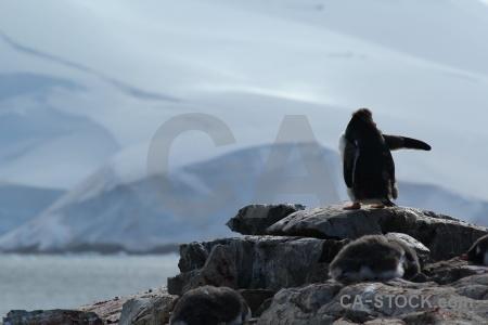 Chick petermann island antarctica cruise water rock.