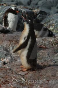 Chick rock petermann island gentoo animal.