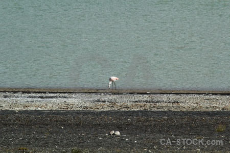Chile bird water flamingo stone.