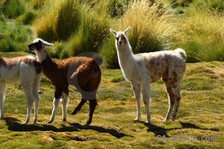 Chile llama grass andes atacama desert.