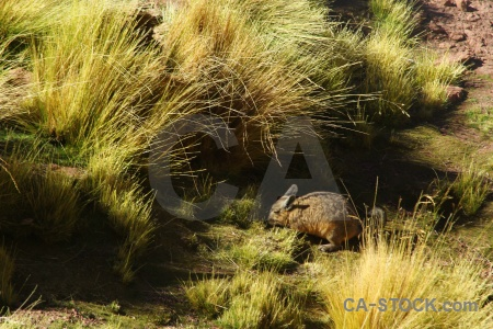 Chinchilla el tatio south america grass atacama desert.