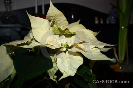 Christmas plant flower black.