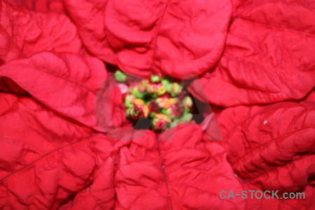 Christmas plant red pink flower.