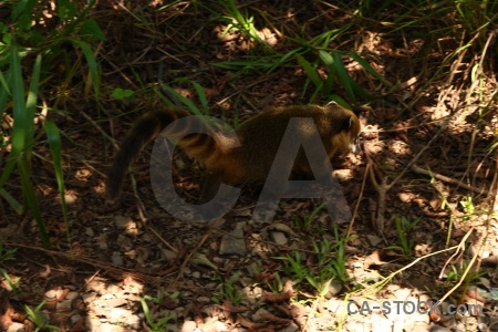 Coatis branch grass animal iguacu falls.