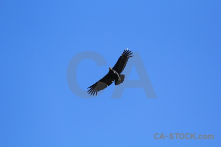 Colca valley andean condor south america bird altitude.