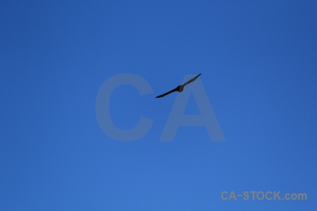 Colca valley bird animal condor sky.