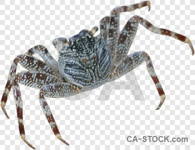 Crab animal cut out transparent.