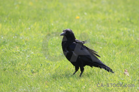 Crow green grass animal bird.