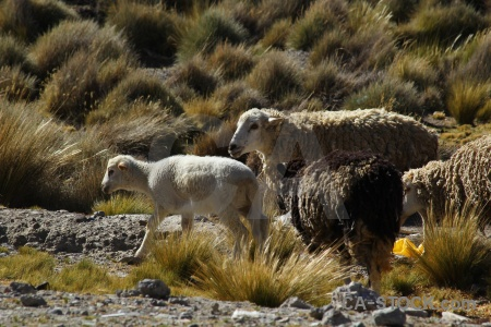 Crucero alto animal peru grass andes.