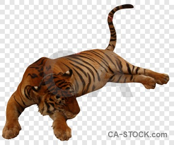 Cut out animal tiger cat transparent.