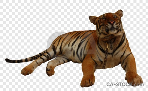 Cut out animal transparent tiger cat.