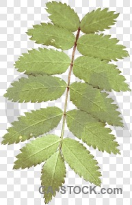 Cut out leaf transparent green.