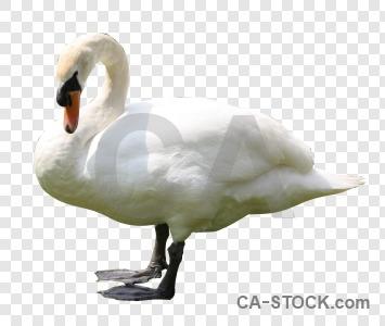 Cut out transparent bird animal swan.