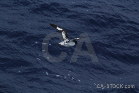 Day 4 antarctica cruise bird cape petrel drake passage.