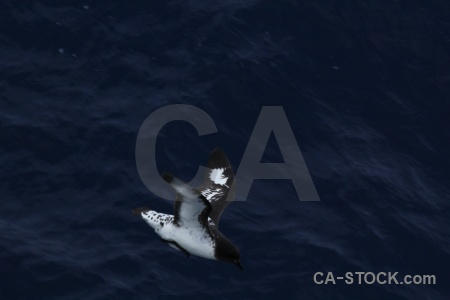 Day 4 bird pintado petrel cape sea.