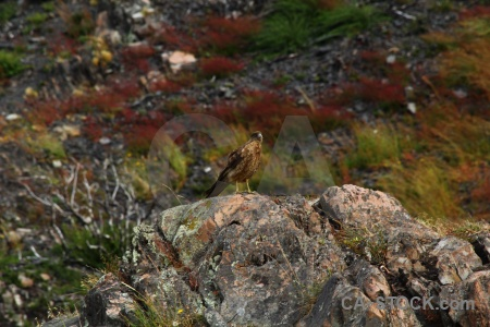 Day 4 falcon patagonia torres del paine animal.