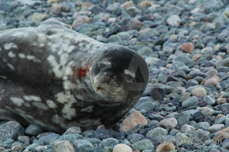 Day 5 marguerite bay millerand island weddell seal stone.