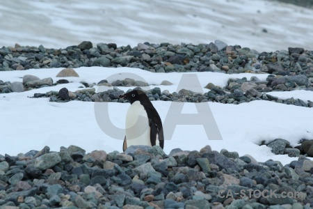 Day 5 penguin stone marguerite bay antarctica.