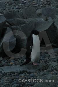 Day 5 rock penguin animal antarctic peninsula.