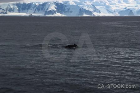 Day 6 animal marguerite bay mountain antarctica cruise.